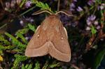 Grass Eggar (Lasiocampa trifolii)